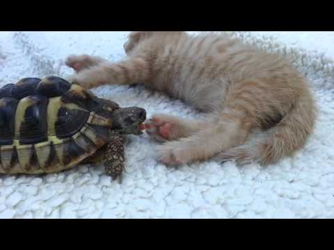 The REAL Reason Why Tortoises Hassle Cats