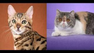 Bengal Cat and Exotic Shorthair Thumbnail