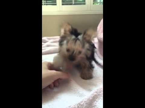 Micro Morkie Teacup Puppy For Sale Yorkshire And Maltese Mix Youtube