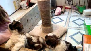 7 Week Old Shih Tzu Puppies 11/23/2011