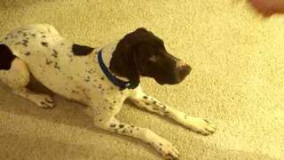 German Shorthaired Pointer Gsp Rolling Over
