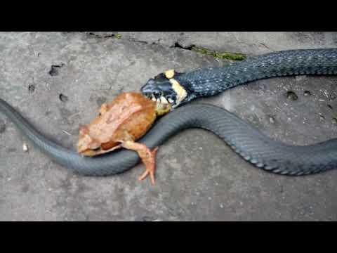 Уж ест лягушку. Жесть.