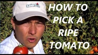 Top 3 Tips on How to Harvest Tomatoes at Peak Ripeness