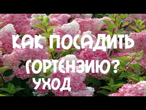 Как посадить #гортензию? Посадка гортензии в грунт