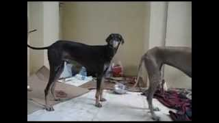 Kanni Caravan Hound Indian Breed