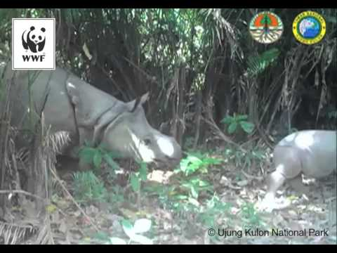 Javan rhino calf caught on camera