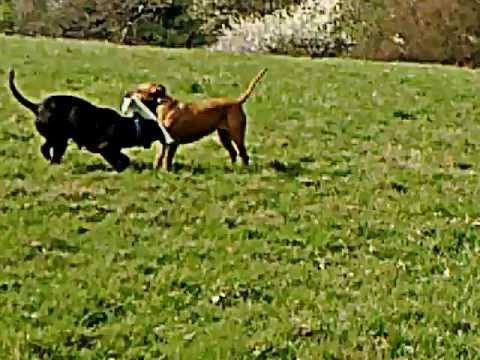 swatt-dogs,-marly-tia-alano-espanol-playing