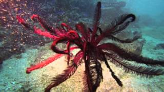 Feather star - Shinkoku Maru