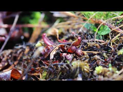 Sarracenia on My Mind: The Native Pitcher Plants of Georgia