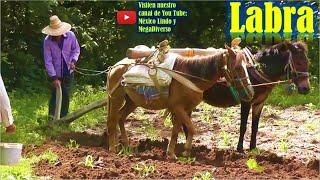 labrando la milpa con yunta de caballo y mula en la Mixteca 🌽