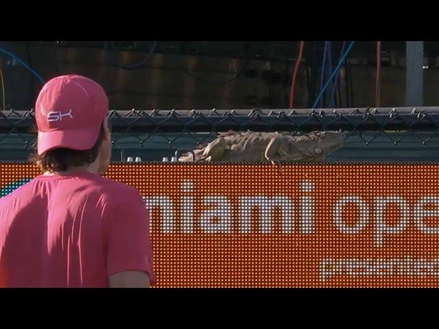 Iguana Runs On Court, Halts Match At The Miami Open
