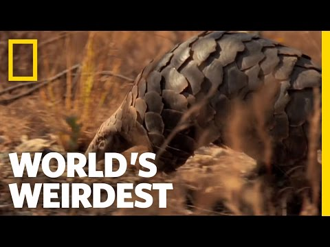 Pangolin  World's Weirdest
