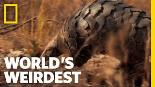 Pangolin | World's Weirdest