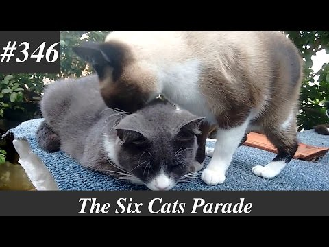 Siamese cat grooming her mother