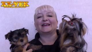 Как выбрать щенка йоркширского терьера? (часть 1)
