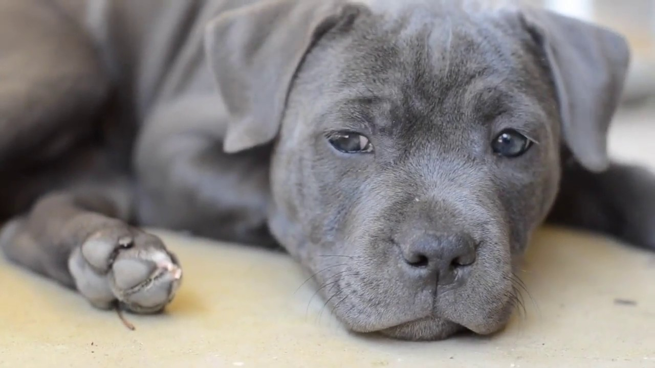 Blue Staffy For Sale : Puppy english staffordshire terrier staffy pup blue staffy youtube