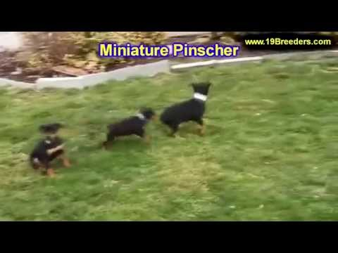 Miniature Pinscher, Puppies, Dogs, For Sale, In Louisville, Kentucky, KY, 19Breeders, Bowling Green