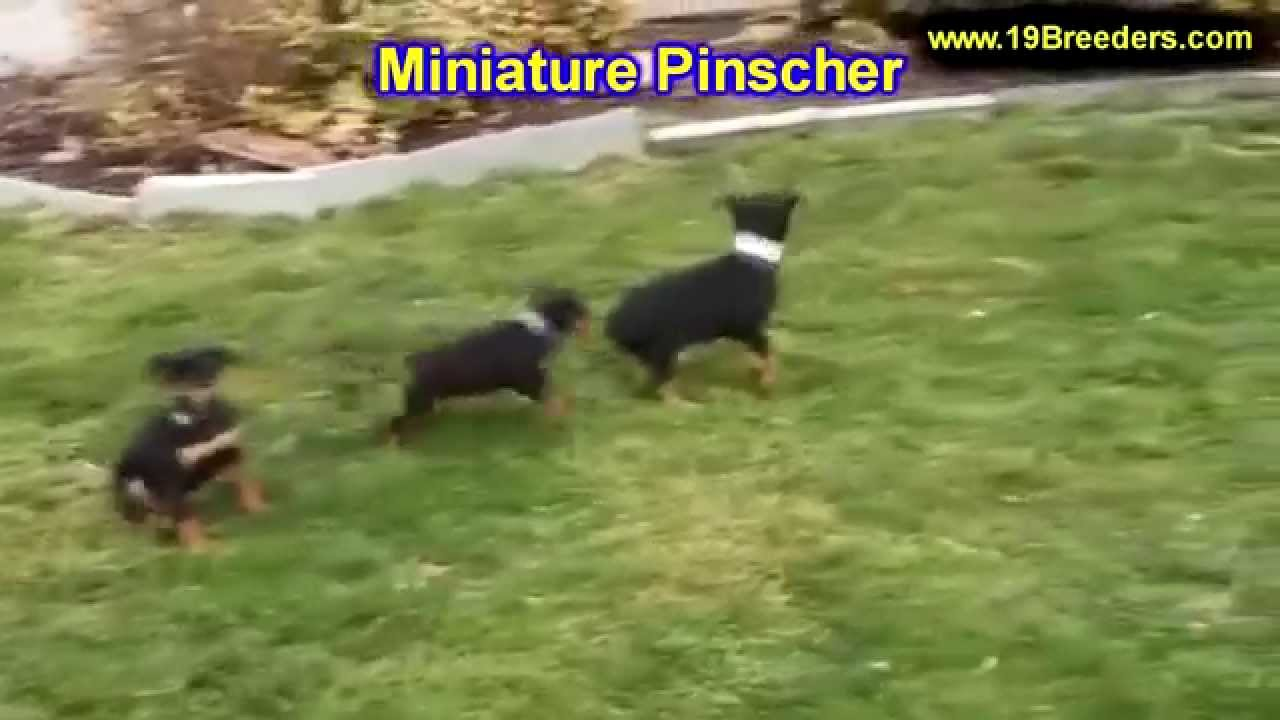 chiuaua puppies for sale in ky miniature pinscher puppies dogs for sale in louisville 4594
