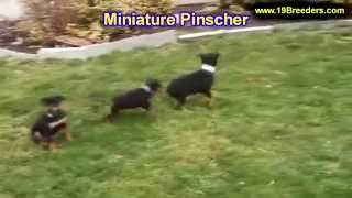 Miniature Pinscher, Puppies, For, Sale, In, Lexington, County, Kentucky, Ky, Bowling Green, Owensbor
