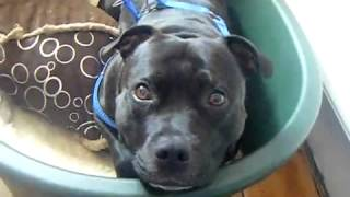 Famous Staffordshire Bull Terrier Thinks She's A Horse  Funny Staffy Video