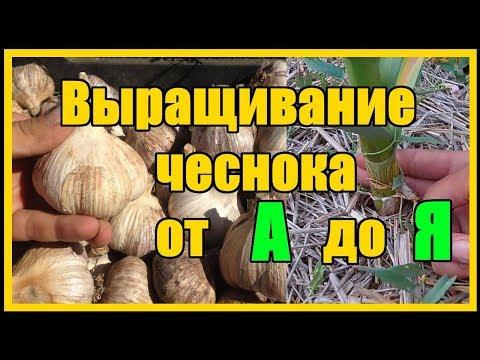 Вопрос: Как выращивать узбекский чеснок Как ухаживать за растением?