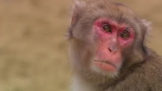Monkey Cuisine | Secret Wilderness: Japan | BBC