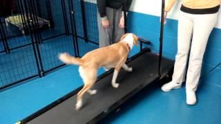 Rocky Beagle, Pointer Cross