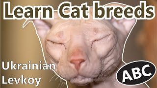 Alphabet Cat breeds/ ABC Cats for Kids / Learn Cat breeds / Most famous Cat breeds from A  Z