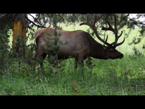 Elk Yellowstone WY