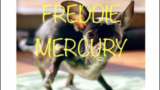Vote Freddie Mercury for the Dog Hero Award