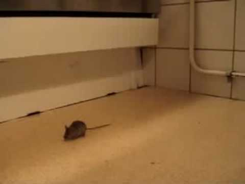 mouse in the kitchen !! - YouTube