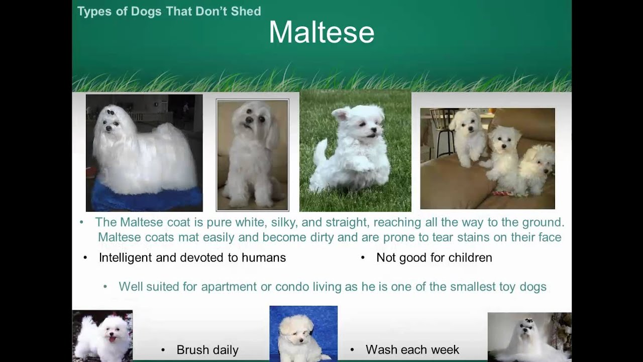 Types Of Dogs That Don't Shed - YouTube
