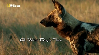 История одной гиеновой собаки - A wild dog's tale(Nat Geo Wild)
