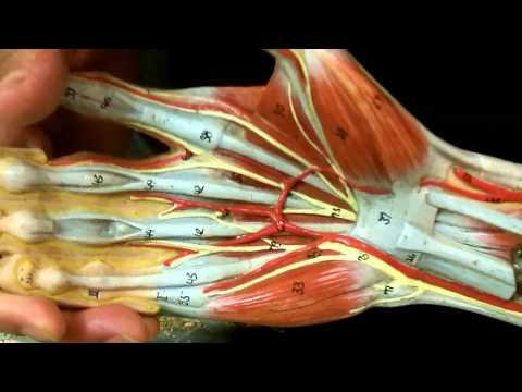 Arm Model  Hand