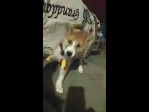 Most aggressive Shiba Inu puppy ever!!!
