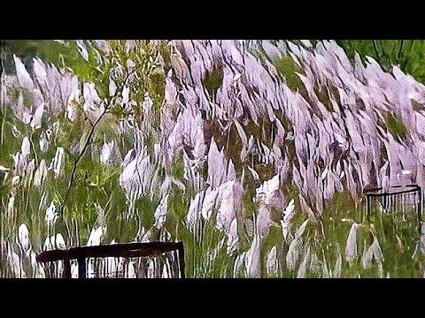 White grass flowers cortaderia selloana pumila dwarf pampas grass white grass flowers cortaderia selloana pumila dwarf pampas grass of s g b amravati university mightylinksfo
