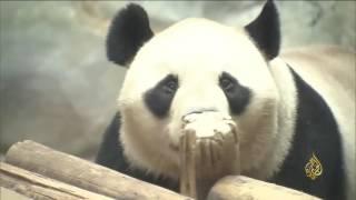هذا الصباح-الباندا استثمار صيني يدر ملايين الدولارات