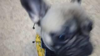 Французский бульдог - зимний комбинезон
