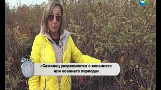 как выбрать саженцы яблони: советы эксперта