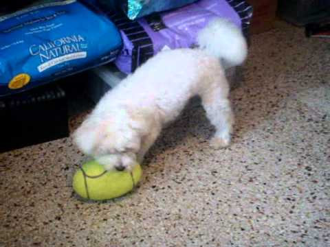 Jack (Maltese Puppy) playing with an Air Kong Football
