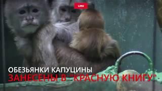Малыш капуцин появился в Московском зоопарке