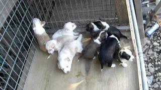 幸福を招く犬珍犬チベタンテリアの生後1ヶ月の 可愛い子犬。