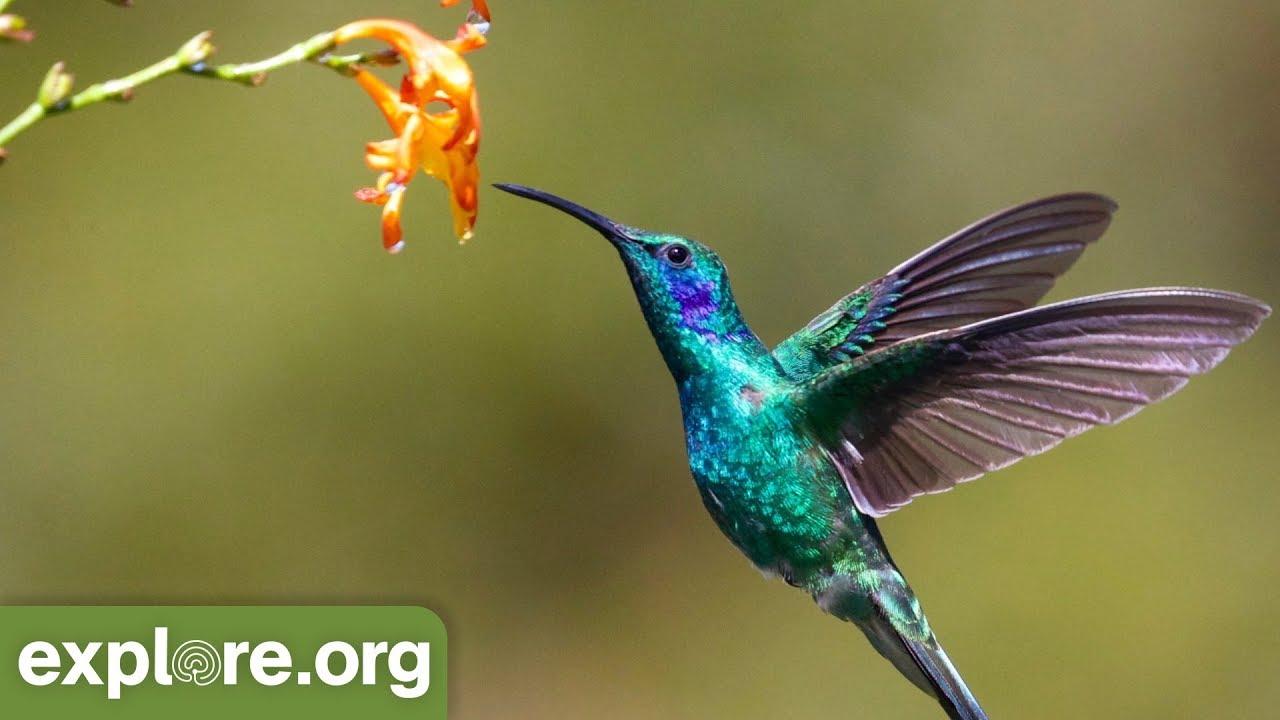 Naturalist Explains a Hummingbird 's Metabolism - YouTube