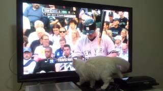 Gnocchi the Ragdoll Kitten Watching Baseball