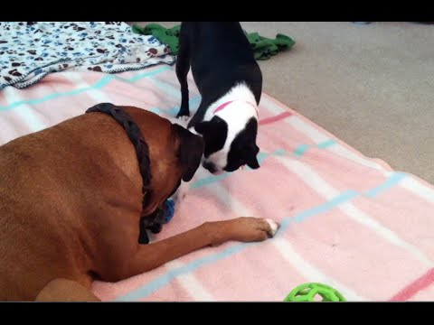 Boston Terrier Outsmarts Boxer