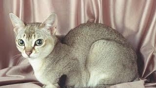 Сингапура - Дюймовочка кошачьего мира