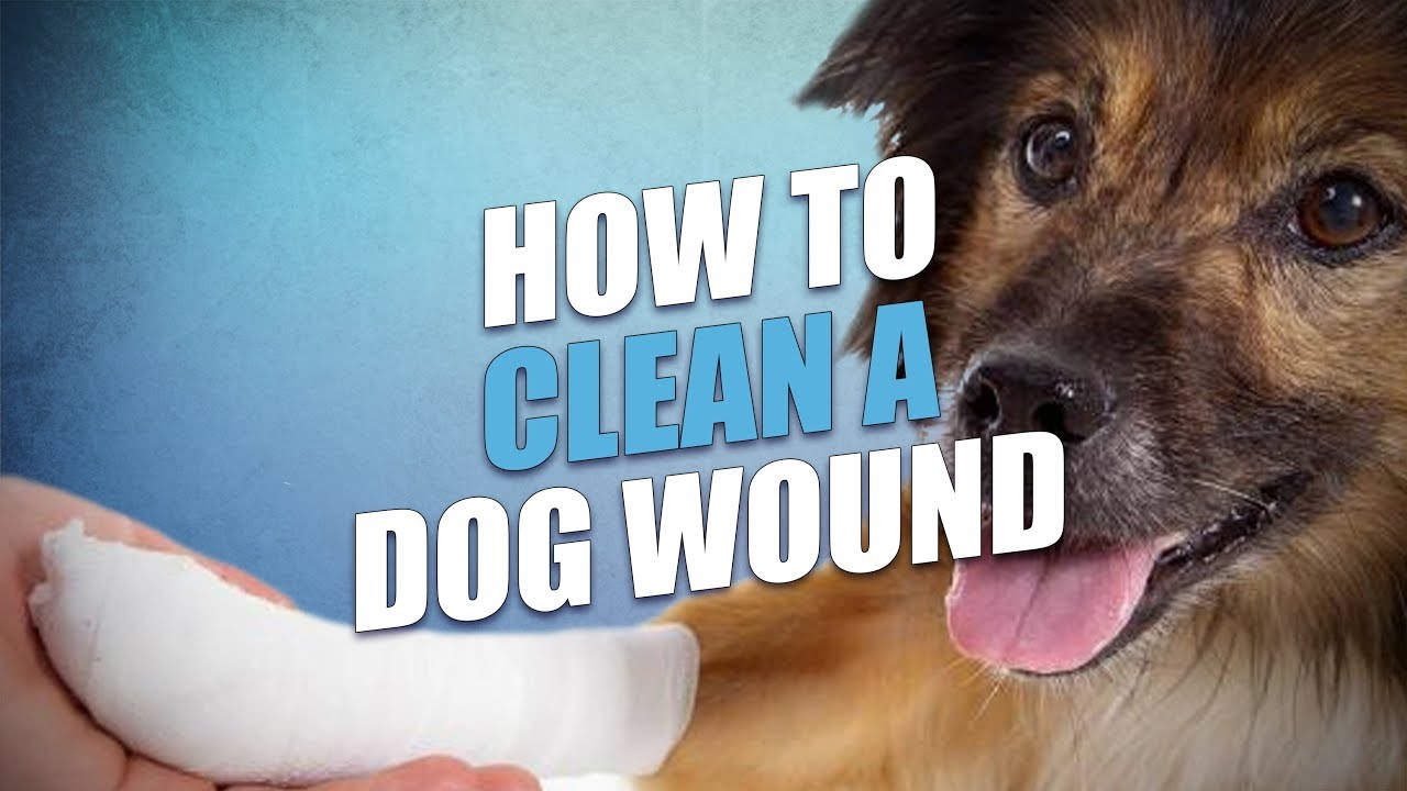 How to Clean and Treat Dog Wound (Dog First Aid Basics)