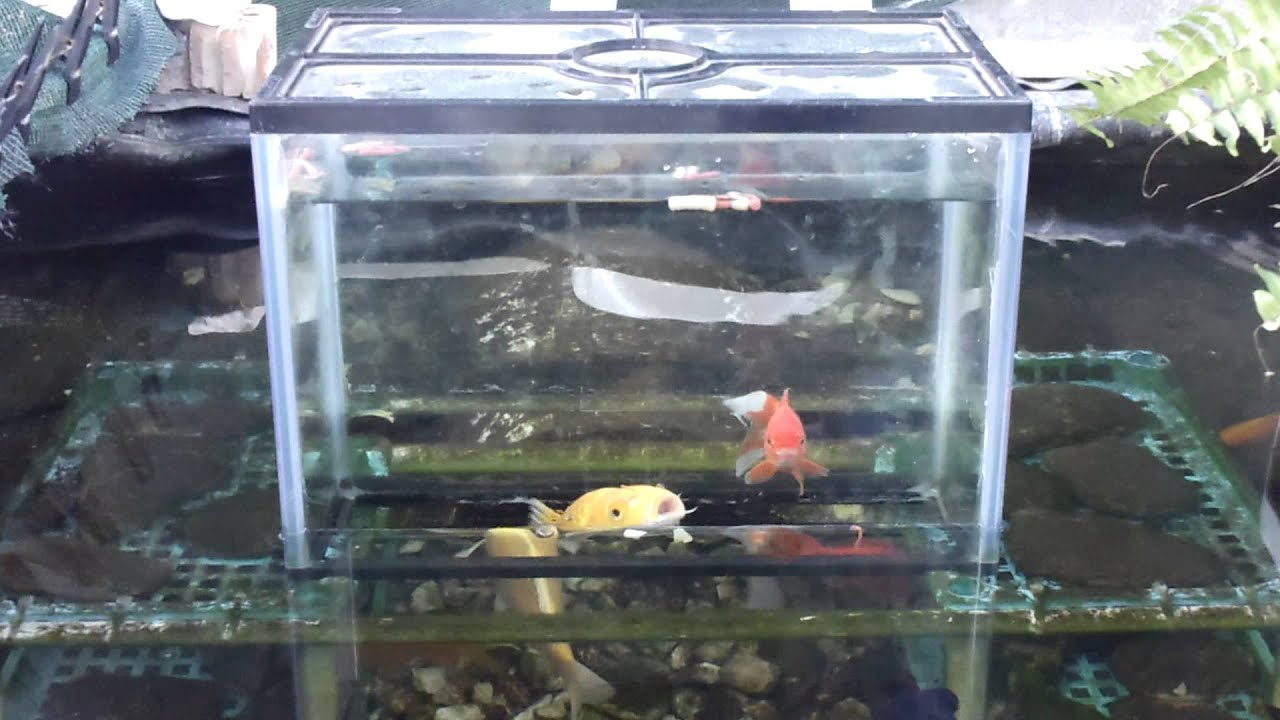 my fish pond and aquarium all in one by billxan777 youtube