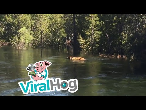 Bear Accidentally Takes Ride Down Waterfall || ViralHog