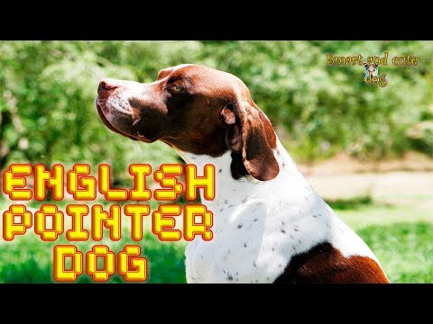 English Pointer dog loves to lie on the couch and play with cats. Compilation